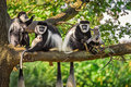 A troop of Mantled guereza monkeys plays with two newborns