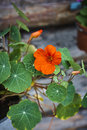 Tropaeolum nasturtium Indian cress red blossom and leaves Royalty Free Stock Photo