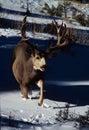 Trophy Mule Deer Buck Royalty Free Stock Photo