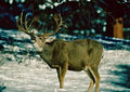 Trophy Nontypical Mule Deer Buck Stock Photography
