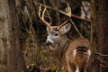 Trophy Whitetail Deer Buck During Fall Rut Royalty Free Stock Photo