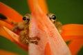 Tropic frog Stauffers Treefrog, Scinax staufferi, sitting hidden in the orange bloom flower. Frog in the nature tropic forest habi Royalty Free Stock Photo