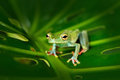 Tropic nature in forest. Olive Tree Frog, Scinax elaeochroa, sitting on big green leaf. Frog with big eye. Night behaviour in Cos Royalty Free Stock Photo