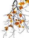 Tropical almond leaf terminalia catappa on white background Stock Image