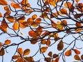 Tropical almond leaf terminalia catappa on white background Stock Images