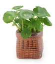 Tropical aquatic plant in pot on white background Stock Photo