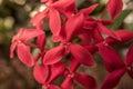 Tropical Asian flower: Jungle Geranium: Ixora Coccinea