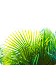 Tropical background sunlit leaves of a palm Royalty Free Stock Images