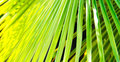 Tropical background sunlit palm leaves in summer Royalty Free Stock Photography