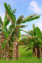 Tropical banana trees in Asian landscape Royalty Free Stock Photos