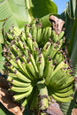 Tropical bananas Royalty Free Stock Photos