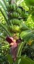 Tropical bananas growing Royalty Free Stock Photo