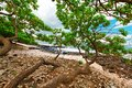 Tropical beach tree long brenches over rocks maui hawaii Stock Photography