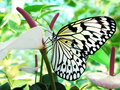 Tropical butterfly Royalty Free Stock Photo