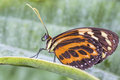 Tropical butterfly (Eueides isabella) Stock Photos