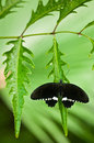 Tropical butterfly on the leaf with green background white black Royalty Free Stock Images