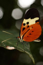 Tropical butterfly from rainforest. Royalty Free Stock Photo