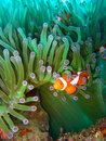 Tropical clown fish Stock Photo