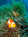 Tropical clown fish Royalty Free Stock Photos