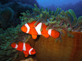 Tropical clown fish family Royalty Free Stock Photography