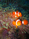 Tropical clown fish family