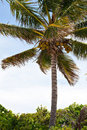 Tropical Coconut Palm Tree Stock Photos