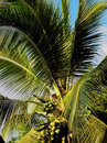 Tropical coconut palm tree with green coconuts and long leaves Stock Image