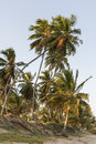 Tropical coconut palm trees during summer sunset Royalty Free Stock Photo