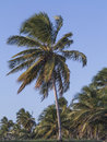 Tropical coconut palms trees Royalty Free Stock Photo