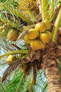 Tropical coconuts and palm fronds of a tree Stock Photo