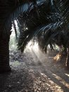 Tropical colonial palm trees in dawn with light coming through with lush green rain forest vegetation and the coast Royalty Free Stock Photo