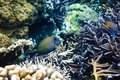 Tropical corals and fish on reef in Indian ocean. Royalty Free Stock Photo