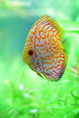 Tropical discus fish in the aquarium Royalty Free Stock Photo