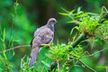 Tropical dove in the wild it is symbols of love peace or messengers Royalty Free Stock Photo