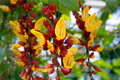 Tropical exotic Thunbergia mysorensis flower