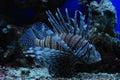 Tropical fish in the aquarium Stock Images