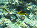 Tropical fish colorful in the corals of red sea underwater Royalty Free Stock Photography