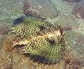 Tropical fish Commonhelmet Gurnard Royalty Free Stock Photo