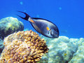 Tropical fish on the coral reef Royalty Free Stock Photos