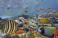 Tropical Fish on Coral Reef in the Red Sea Royalty Free Stock Photo