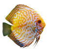 Tropical fish diskus on a white background Stock Photos
