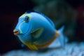 Tropical Fish Naso Tang Royalty Free Stock Photos