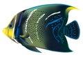 Tropical fish Pomacanthus semicirculatus. Royalty Free Stock Photo