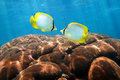 Tropical fish spotfin butterflyfish with coral two colorful chaetodon ocellatus hard in background caribbean sea Royalty Free Stock Images