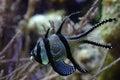 Tropical fish swimming in aquarium Stock Photography