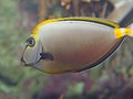 Tropical fish with veining swims in temperate seas white yellow Stock Photo
