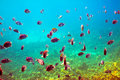Tropical fishes at coral reef area Royalty Free Stock Photo