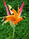 Tropical flower bird of paradise hawaii yard landscaping design florist floral flowers farming Stock Images