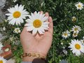 Beautiful white daisy flowers blossom in a young woman hand on green garden background. Love Royalty Free Stock Photo