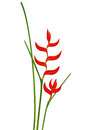 Tropical flower Heliconia isolated